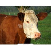 Убой крупного рогатого скота фото