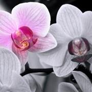 Кактусы и суккуленты Бонсай Орхидеи Садовые орхидеи Сенполии (фиалки) фото