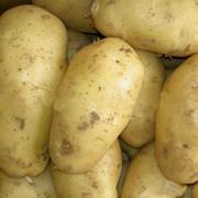Картофель, продажа, Днепропетровск, Украина фото