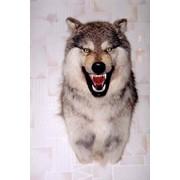 Трофейная голова волка. фото