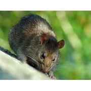 Уничтожение крыс в Алматы Дезинфекция дератизация Дезстанция Надежда и К ТОО Как избавиться от крыс фото