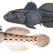 Рыба бычки фото