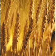 Биржевая торговля зерном в Казахстане фото