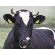 Выдача сертификатов племенного скота породы Ангус фото