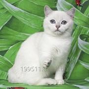 Котёнок британский короткошерстный, окрас серебристый шиншилла- поинт фото