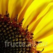 Floarea-soarelui фото