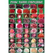 Розы чайно-гибридные в Молдове 100 сортов фото
