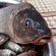 Рыба живая карп. фото