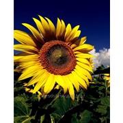 Семена подсолнечника Камаро 2 фото