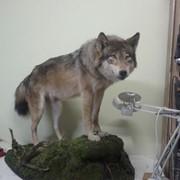 Волк полноразмерный фото