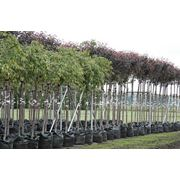 Саженцы декоративных деревьев фото