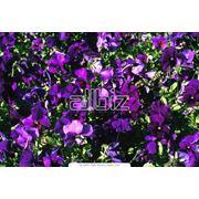 Цветы однолетние садовые фото