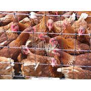 Предприятия птицеводческие фото