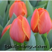 Сорт тюльпана AD REM фото