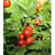 Плоды высушеные Шиповника Собачьего фото