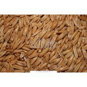 Пшеница мягких сортов фото