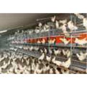 Оборудование для промышленного птицеводства фото