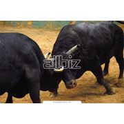 Разведение быков племенных фото