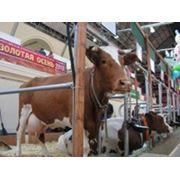 Скот крупный рогатый мясной фото