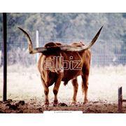 Разведение быков фото