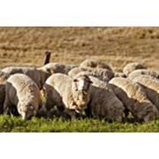 Овцеводство фото