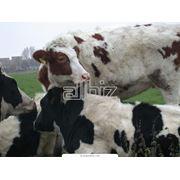 Разведение крупного рогатого скота. Осеменение коров и телок. фото