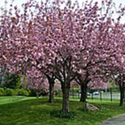 Вишня мелкопильчатая Канзан (Prunus serrulata 'KANZAN') фото