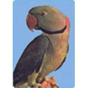 Попугаи кольчатые фото