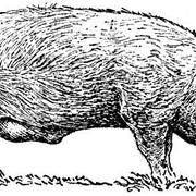 Услуги откорма свиней фото