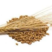 Пшеница,пшеница купить,пшеница цена в Казахстане фото