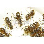 Уничтожение садовых муравьев фото