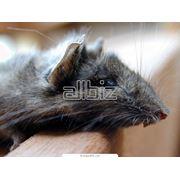 Уничтожение домовых крыс фото