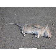 Уничтожение полевых мышей фото