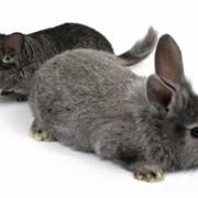 Кролик шиншилловый фото