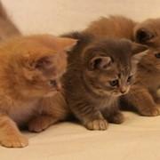 Котята британские короткошерстные фото
