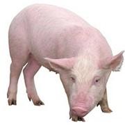 Молодняк свиней фото