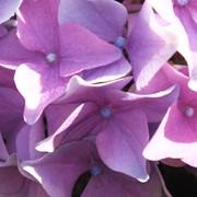Гортензия крупнолистная голубая Hydrangea macrophylla blue фото