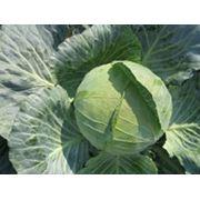 Капуста оптом урожай 2012 года фото