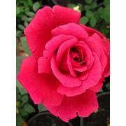 Розы бордюрные, Роза Шарлотта Рамплинг фото