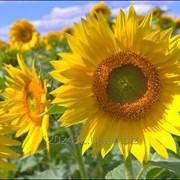 Насіння соняшник Ауріс фото