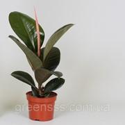 Фикус эластика Робуста -- Ficus elastica Robusta фото