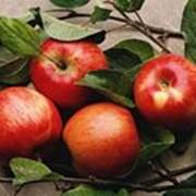Яблоки зимних сортов фото