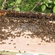 Пчелиные семьи фото