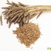 Яровая пшеница сорта Ирень фото