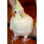 Попугай Корелла нимфа фото