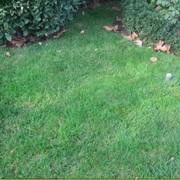 Семена газоных трав, однолетних, многолетних, злаковых фото