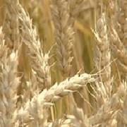 Фуражное зерно с доставкой по области фото