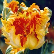 Тюльпан Пэррот Кинг фото