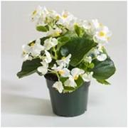 Бегония вечноцветущая (Begonia) фото