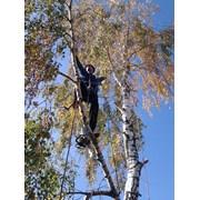 Обрезка деревьев в Гомеле фото